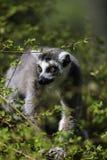 Lemur Przyglądający między drzewami out Obraz Stock