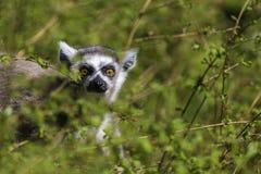 Lemur Przyglądający między drzewami out Fotografia Stock