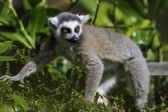 Lemur Przyglądający out podczas gdy w drzewach Obrazy Stock