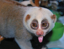 The lemur puts out the tongue. The animal a lemur of a suborder of monkeys, a primacy puts out the tongue Royalty Free Stock Photos