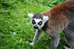 Lemur que agacha-se e que olha fixamente Foto de Stock Royalty Free