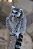 Lemur que lambe seu braço fotografia de stock royalty free