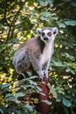 Lemur que se sienta en un árbol foto de archivo libre de regalías