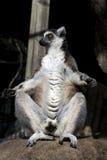 Lemur que toma el sol Fotografía de archivo