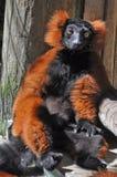 Lemur que toma el sol en Ringtail soñoliento del rojo de Sun del verano Imagen de archivo libre de regalías
