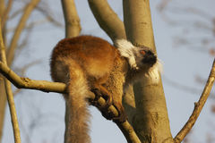 Lemur que toma el sol en The Sun Fotografía de archivo