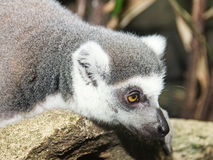 Lemur in the rain forest Stock Photos