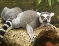 Lemur in the rain forest Stock Image