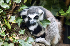 A Lemur resting Royalty Free Stock Photography
