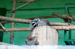 lemur resting on a branch Royalty Free Stock Photo