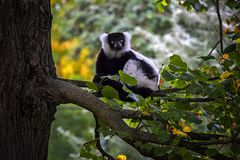 Red Ruffed Lemur on the tree. royalty free stock photography