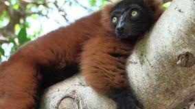 Lemur Resting In Tree stock footage