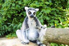 Lemur. Resting lemur in the zoo Pilsen Stock Image
