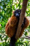 Lemur rewolucjonistka Ruffed Obrazy Royalty Free