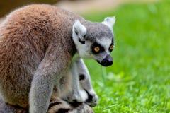 Lemur of ring-shaped tail ,Lemur catta Stock Photos