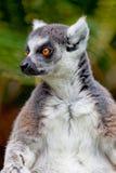 Lemur of ring-shaped tail ,Lemur catta Stock Photography