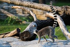 Lemur Ring-tailed Images libres de droits