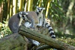 Lemur Ring-tailed Foto de archivo libre de regalías