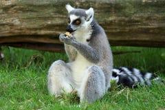 Lemur Ring-tailed Fotos de archivo libres de regalías