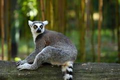 Lemur Ring-tailed Fotografía de archivo