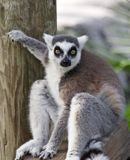 Lemur Ring-tailed fotografia de stock