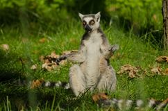 Lemur Ring-tailed fotografía de archivo libre de regalías