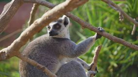 Lemur Ring-tailed metrajes