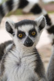 Lemur Ring-tailed Fotos de Stock