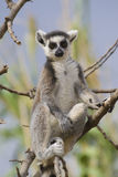 Lemur Ring-tailed Photos libres de droits