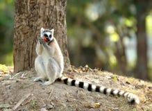 Lemur Ring-tailed imagens de stock