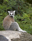 Lemur Ring-tailed Immagine Stock