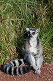 Lemur Ring-tailed Imagenes de archivo