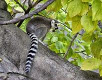 Lemur Ring-tailed Foto de Stock
