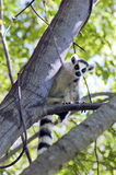 Lemur Ring-tailed Fotos de archivo