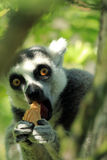 Lemur Ring-tailed Immagini Stock