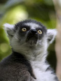 Lemur Ring-tailed Foto de Stock Royalty Free