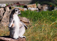 Lemur Ring-tailed Foto de Stock Royalty Free