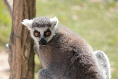 Lemur Ring-tailed Fotos de archivo