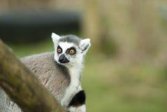 Lemur Ring-tailed Fotos de Stock Royalty Free