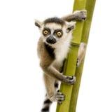 Lemur Ring-tailed (6 semanas) - catta do Lemur Imagens de Stock Royalty Free
