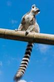 Lemur Ring-tailed Immagine Stock Libera da Diritti