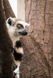 Lemur Ring-tailed Fotografia de Stock Royalty Free