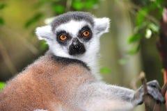 Lemur Ring-tailed Fotografia de Stock