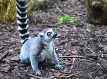 Lemur Ring-tailed Photographie stock libre de droits