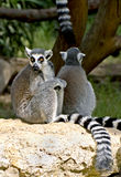 Lemur Ring-tailed 8 Photographie stock