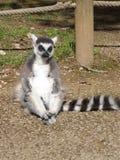 Lemur Ring-tailed Foto de archivo