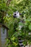 Lemur Ring-tailed Imagen de archivo libre de regalías