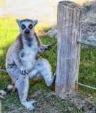 Lemur Ring-tailed imagen de archivo