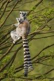 Lemur Ring-tailed - catta de Lemur photographie stock libre de droits