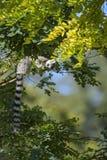 Lemur Ring-tailed - catta de Lemur image libre de droits